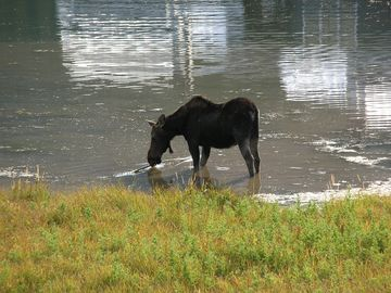 Moose often are seen at Lake Levinsky in front of our Big Sky Condo Rental