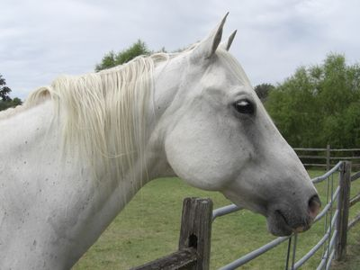 "Bandera cabin rental - ""Denver"" is our handsome grey Quarter Horse"