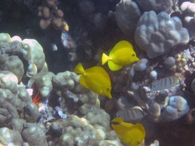 Kapoho house rental - OUR YELLOW TANGS ARE JUST SOME OF THE REEF FISH FOUND IN THE TIDEPOOLS