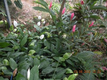 spathyphyllum (white flag) and ginger