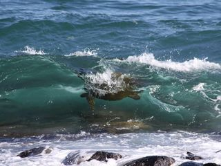 Poipu condo photo - Turtles swim in the ocean below