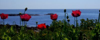 Poppies by the sea.
