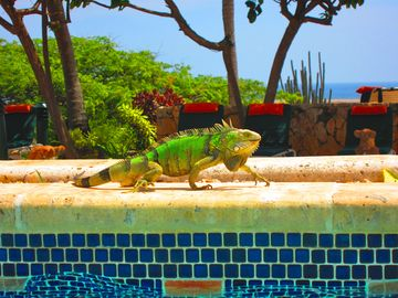 Friendly Iguana