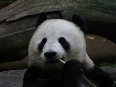 Check out the pandas at our world famous zoo!!