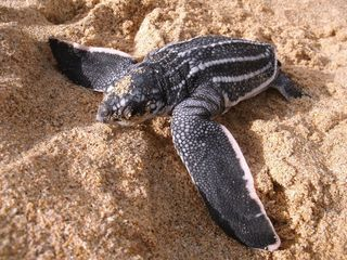 Culebra cottage photo - Tinglar Turtle