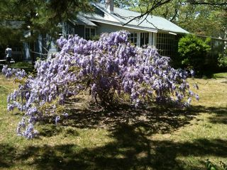 Rehoboth Beach cottage photo - Wisteria in Spring