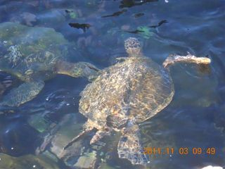 Napili condo photo - Three turtles right at your feet early in the morning. Bigger than they look.