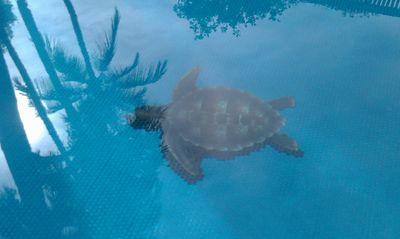 Turtle Motif in Swimming Pool.  Pool area open 9:00 am to 9:00 pm.