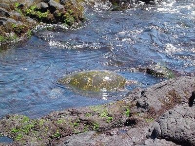The neighborhood green sea turtle foraging for food in a tidal pool at the house