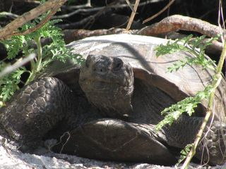 Fort Myers Beach condo photo - Gopher turtle at nearby beach