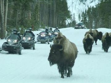 Yellowstone Snowmobilers Racing Bison