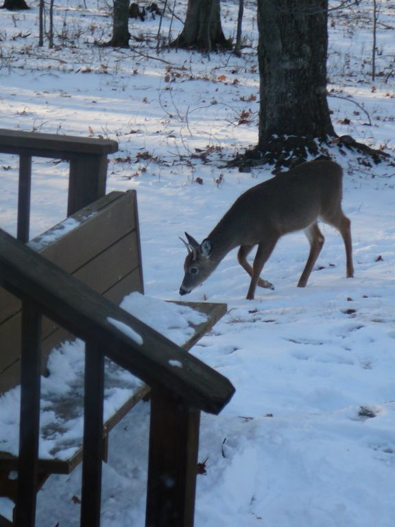 Deer grazing off the deck