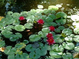 Michigan City house photo - Water lilies in the pond
