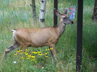 Woodland Park cabin photo - The deer frequent the yard and make themselves at home