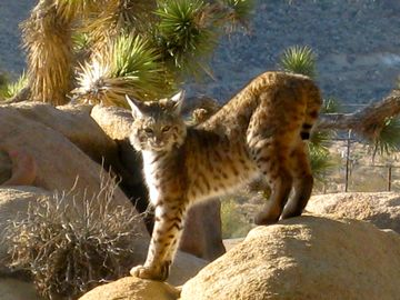 Young bobcat on rocks near cabin
