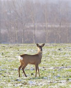 local wildlife - Roe deer