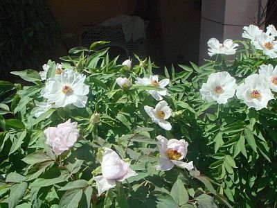 WHITE PHOENIX FLOWERS IN THE CHINESE PEONY TREES GARDEN AREA (APRIL)