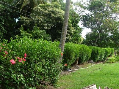 Hibiscus Hedge along the road.