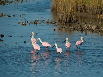 Roseate Spoonbills in one of the islands many lagoons
