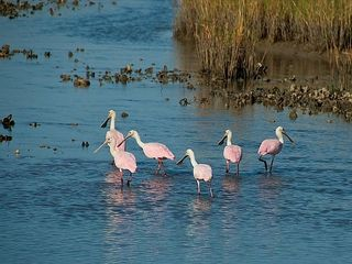Galveston house photo - Roseate Spoonbills in one of the islands many lagoons