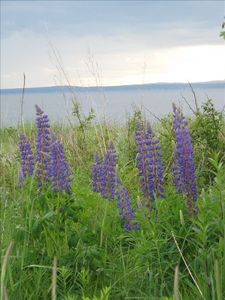 The swaths of Lupines in early Summer are spectacular!