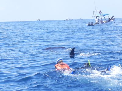 swimming with the whale sharks near island Holbox