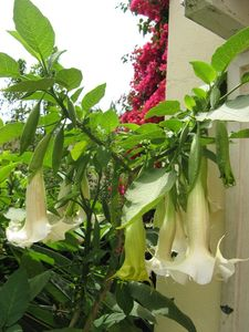 Angel Trumpet and Bouganvillea greet at entrance into house