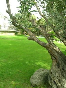 The 400 years old Olive Tree