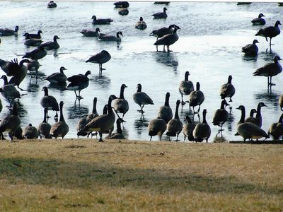 Migrating Canadian Geese making a stop - relaxing by the shore.