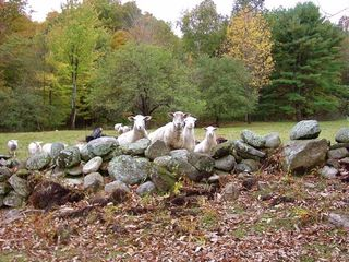 Ascutney farmhouse photo - Sheep in the fall