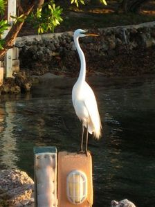 Pete, the Great Whaite Heron guards the marina