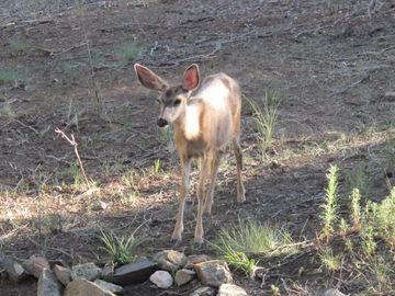Many mule deer come and visit daily