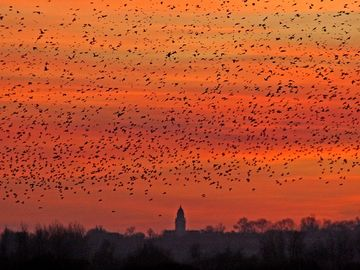 starlings flocking at sunset over Ste Marie du Mon
