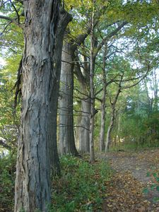 shag bark & red oaks along path to beach