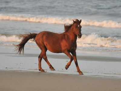 Legendary wild horses of Corolla
