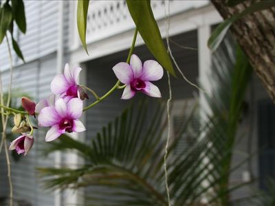Our beautiful orchids abound in our gardens!