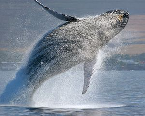 Maalaea condo photo - Humpback whales can be seen from the lanai breaching the ocean Dec-April