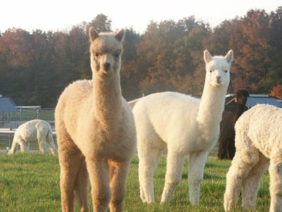 Alpaca farms