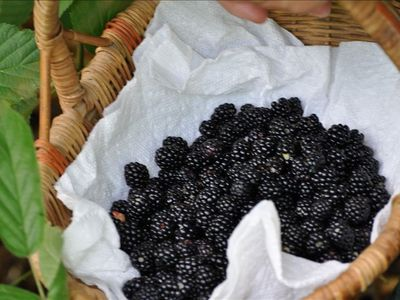 Black raspberries from the forest nearby
