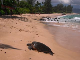 Haleiwa house photo - Turtle basking in the sun fronting the Beach house