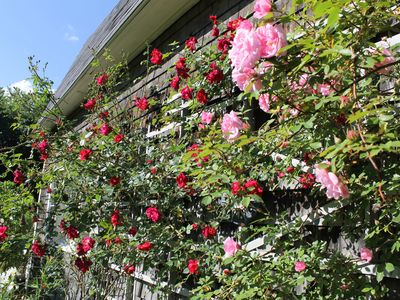 Roses galore just outside your door in June.