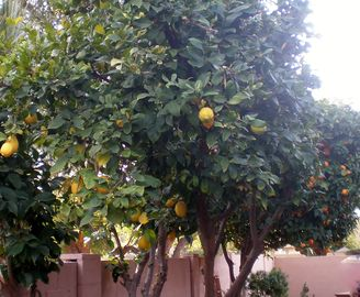 Enjoy fresh lemons and oranges daily while in season.