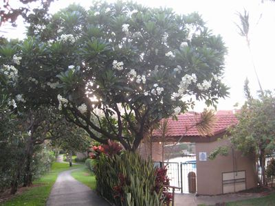Kihei condo rental - Notice the Plumeria Tree on your walk to the beach.