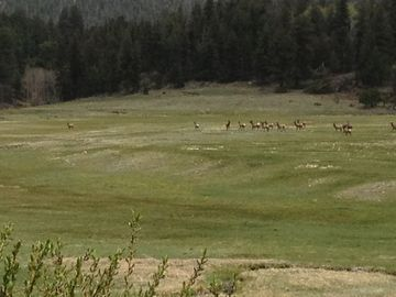 Elk in meadow next to house. Photo taken from front deck.