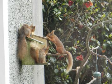 Tea time for the red squirrels close to Garden Cottage at Corsewall