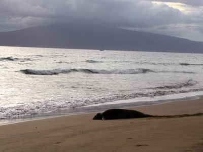 monk seal on our beach