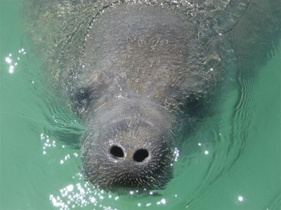 Manatee-Encounter