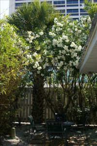 If your timing's good you can be dining under these flowering white Oleanders