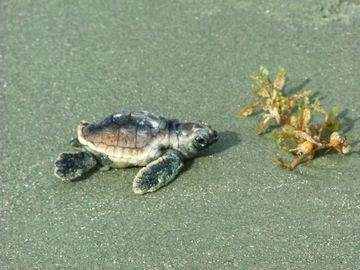 Seabrook Island house rental - Baby loggerhead turtle one hour out of nest