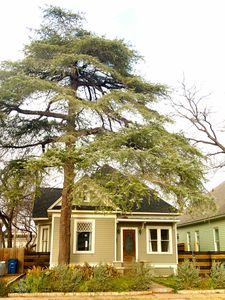 Deodar Cedar Tree towering over 100ft tall over this historic house!